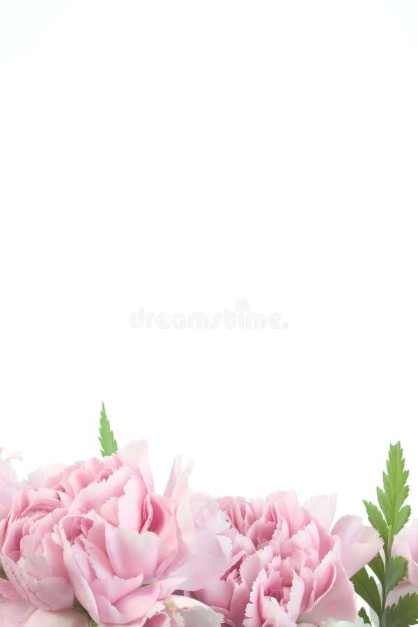 Frontera rosada del clavel imagen de archivo libre de regalías