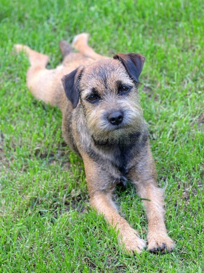 Frontera Terrier del perrito foto de archivo