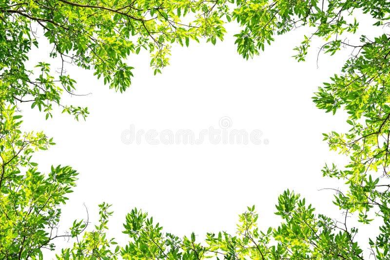 Frontera verde de la rama de árbol aislada en un fondo blanco imagenes de archivo