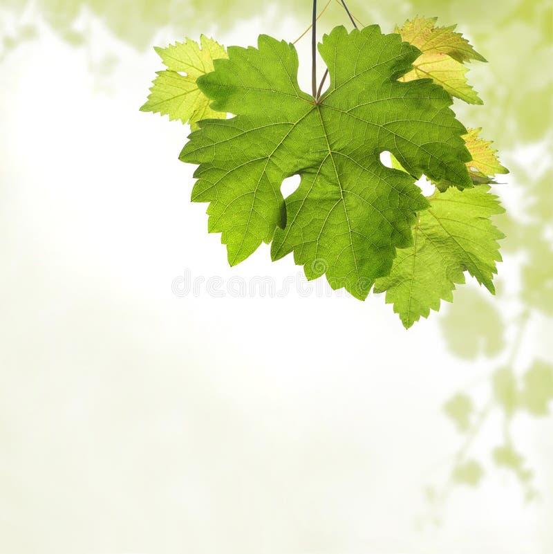 Frontière carrée de vigne avec le détail des feuilles et du fond brouillé de la vigne image libre de droits