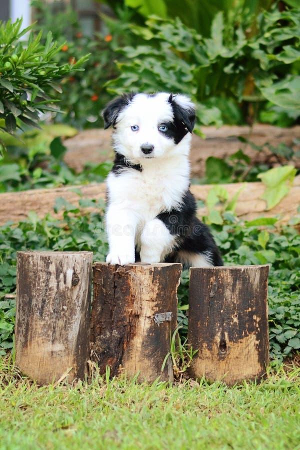 Frontière Collie Puppy d'oeil bleu photos stock