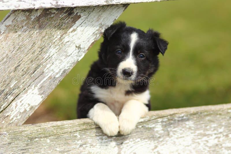 Frontière Collie Puppy Resting Paws sur la barrière en bois blanche rustique photographie stock