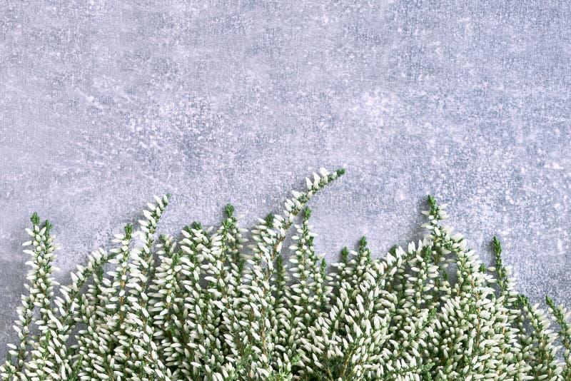 Frontière de la bruyère commune blanche sur le fond gris Copiez l'espace, t photographie stock libre de droits
