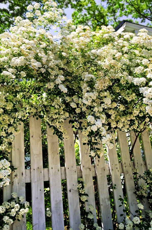 Frontière de sécurité blanche avec les arbustes de floraison photos stock