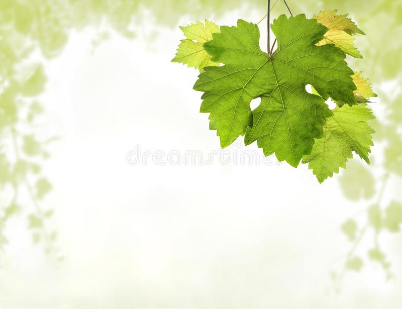Frontière de vigne avec le détail des feuilles et du fond brouillé de la vigne image stock