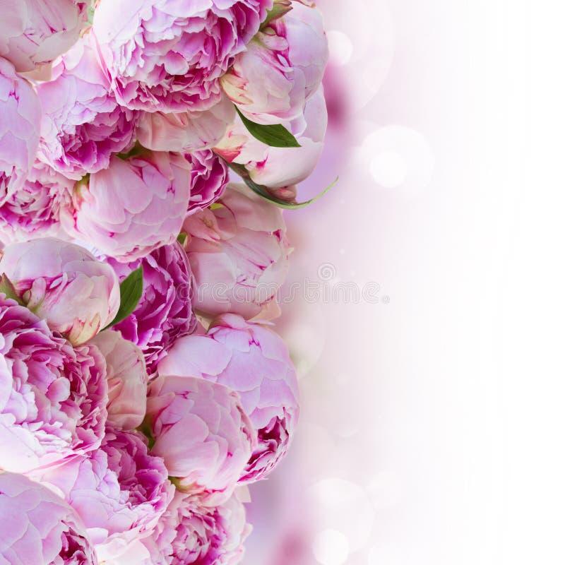 Frontière des pivoines roses image stock