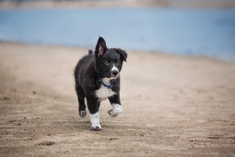 Frontière mignonne adorable Collie Puppy sur la plage photos stock