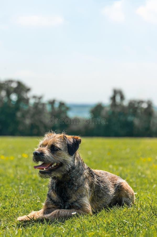 Frontière Terrier photo stock