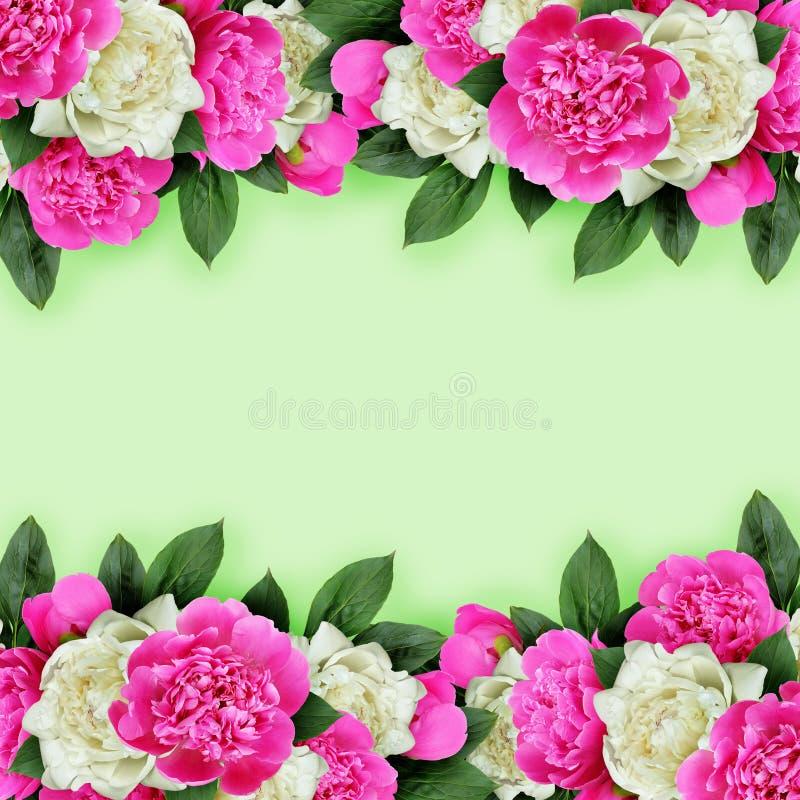 Frontières roses et blanches de fleurs de pivoines photo libre de droits
