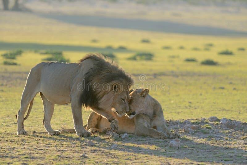 Fronti dello sfregamento del patriarca del leone o baciare con la leonessa immagini stock