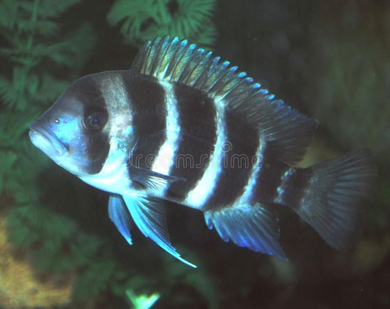 frontosa του Μπουρούντι cichlid στοκ εικόνα