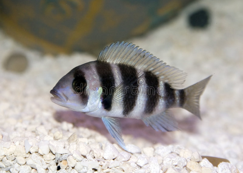 Frontosa Cichlid (Cyphotilapia Frontosa) royalty free stock photography