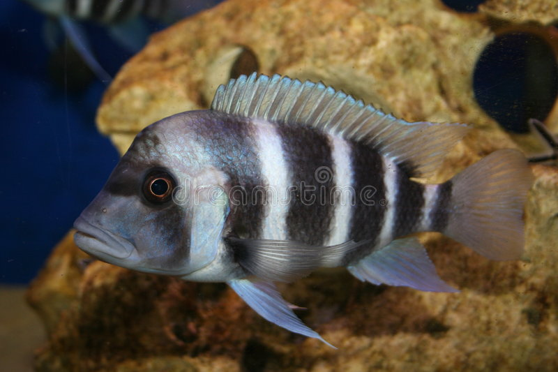 frontosa de cyphotilapia photo stock