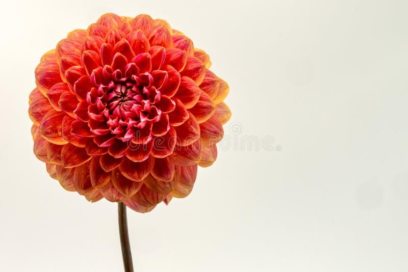 Frontowej twarzy dalii pomarańczowy kwiat obraz royalty free