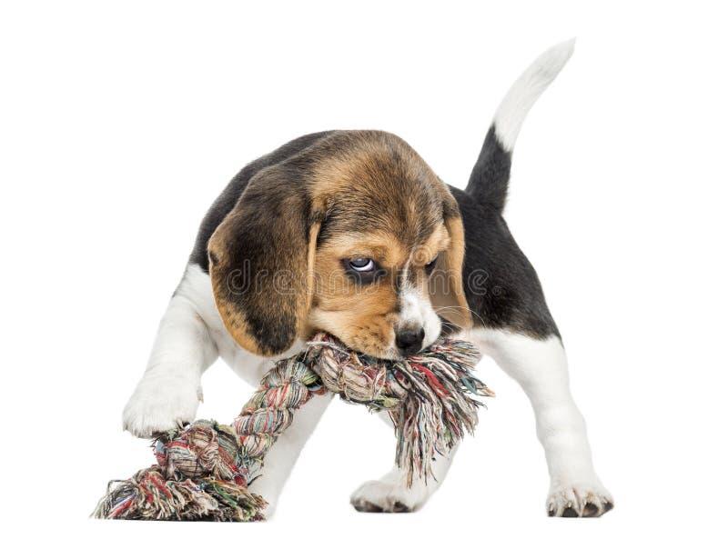 Frontowy widok Beagle szczeniak gryźć linową zabawkę, odosobniony zdjęcie royalty free