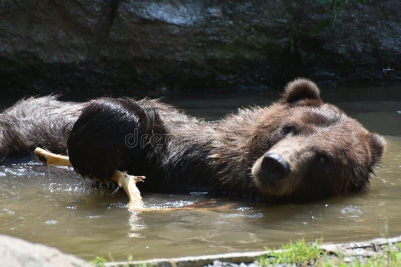 Frontowy widok brown grizzly kąpanie obrazy stock