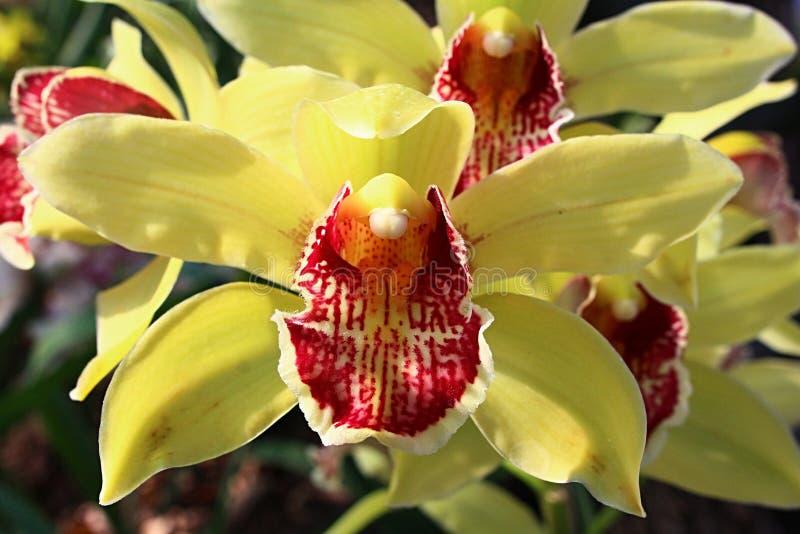 Frontowy widok dwa koloru żółtego storczykowego kwiatu Cymbidium rodzaj z niejednolitym kolorem żółtym czerwień obniża la zdjęcia stock
