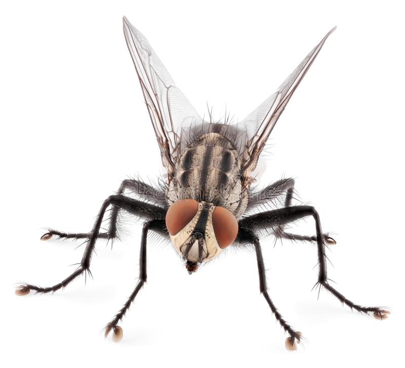 Frontowy widok odizolowywający na białym tle domowa komarnica obraz royalty free