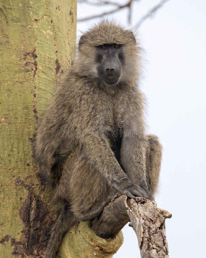 Frontview of an adult baboon sitting in an Acai Tree. In the Serengeti National Park, Tanzania stock photography
