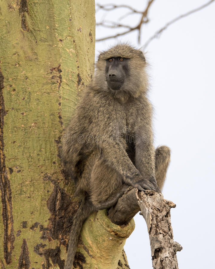Frontview of an adult baboon sitting in an Acai Tree. In the Serengeti National Park, Tanzania royalty free stock photo