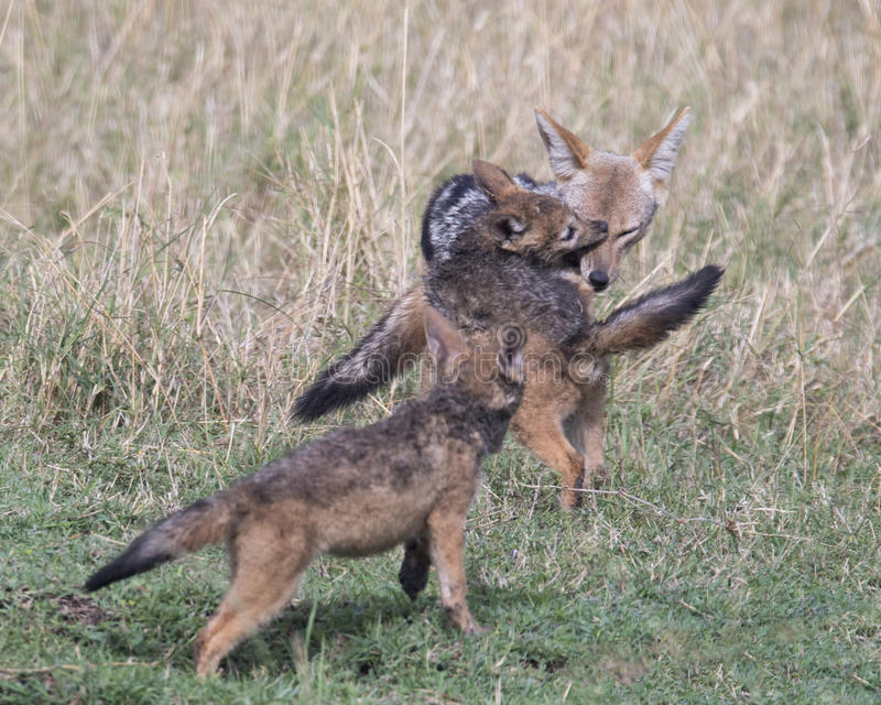 Frontview of black-backed mother jackal being bitten on nose by her cub. In the Masai Mara National Reserve, Kenya royalty free stock photography