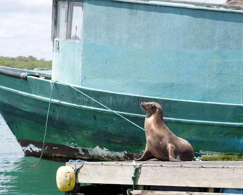 Frontview of a brown seal sitting with head alertly in the air. On a dock in front of a teal-colored boat on Isabela Island, Galapagos stock photos