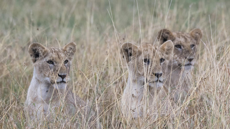 Frontview closeup of 3 cubs sitting looking through tall grass. In the Masai Mara National Reserve, Kenya stock photo