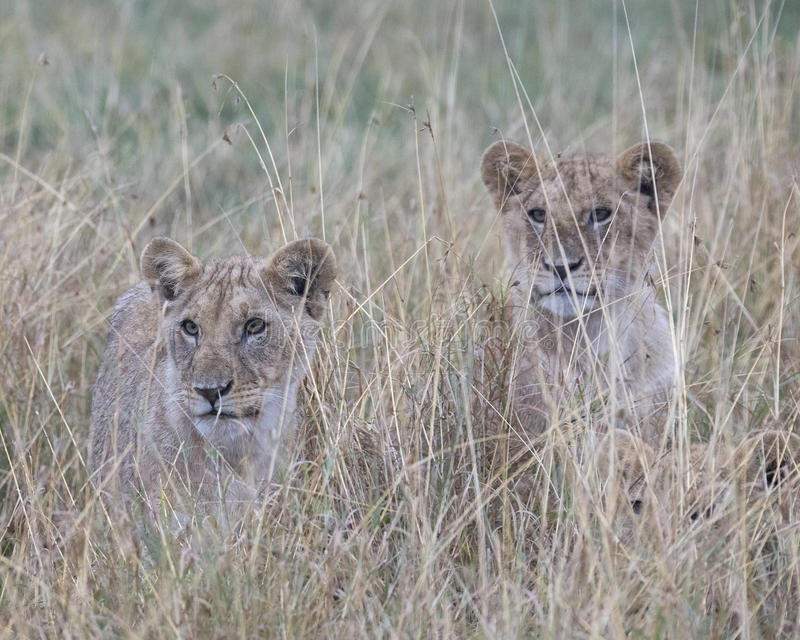 Frontview closeup of 3 cubs sitting looking through tall grass. In the Masai Mara National Reserve, Kenya royalty free stock photography
