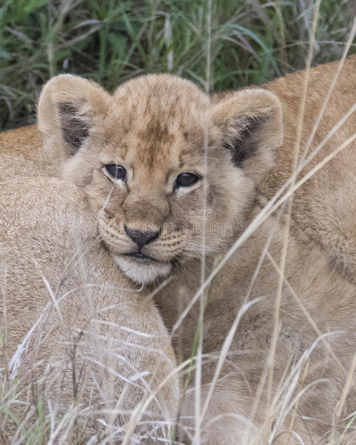 Frontview closeup of the face of a lion cub nestled on mother`s side. In the Masai Mara National Reserve, Kenya stock photo