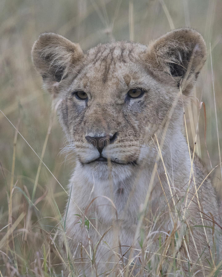 Frontview closeup of the face of a lion cub sitting looking through tall grass. In the Masai Mara National Reserve, Kenya stock image