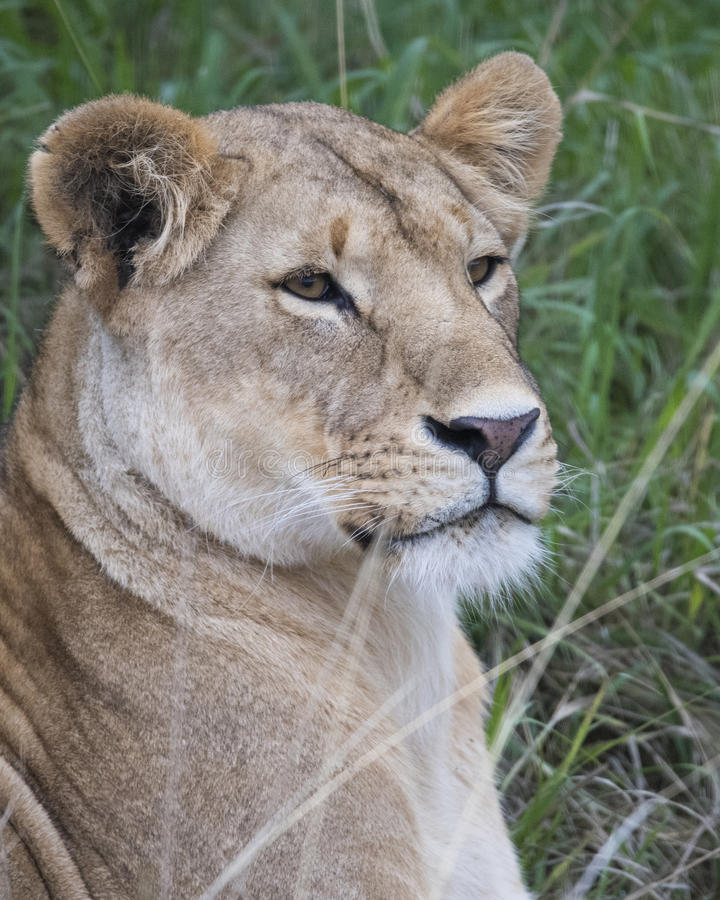 Frontview closeup of the face of a lioness with mouth closed and eyes open. In the Masai Mara National Reserve, Kenya stock image