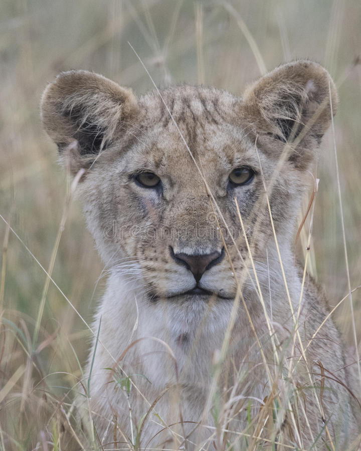 Frontview closeup of the face of a young lion with mouth closed and eyes open. In the Masai Mara National Reserve, Kenya stock image