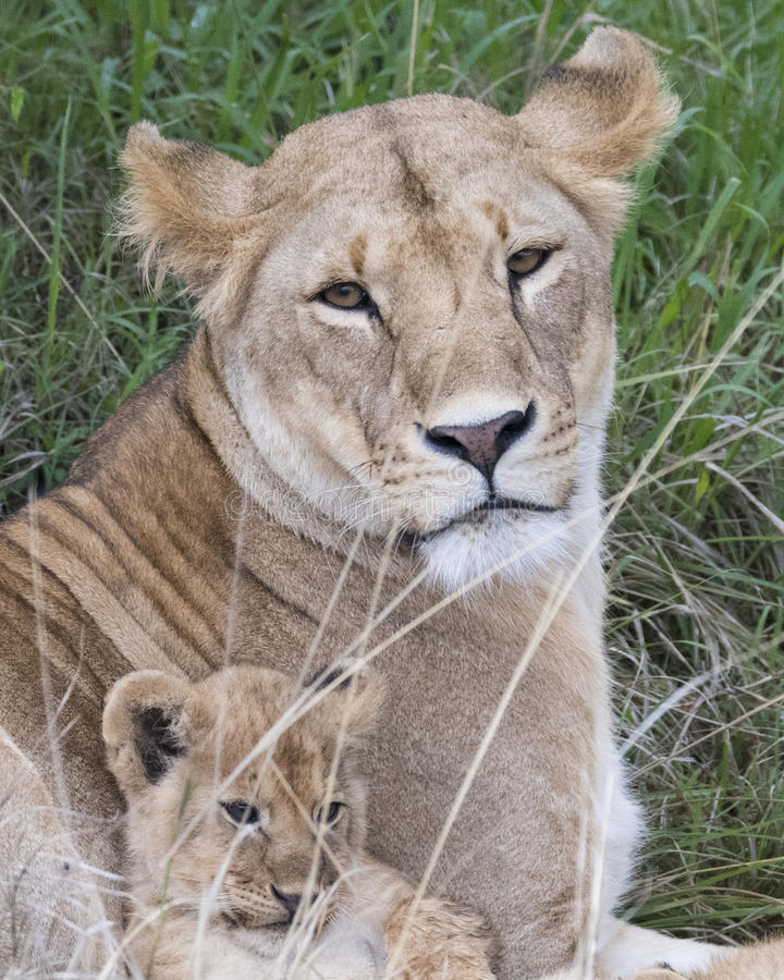 Frontview closeup of the faces of a lion cub and mother lioness. In the Masai Mara National Reserve, Kenya royalty free stock images