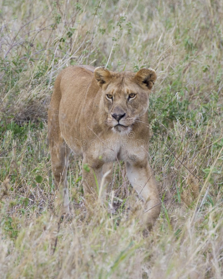 Frontview Closeup of lioness walking in grass. In the Masai Mara National Reserve, Kenya stock photography