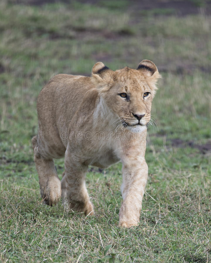 Frontview Closeup of lioness walking in green grass. In the Masai Mara National Reserve, Kenya royalty free stock photo