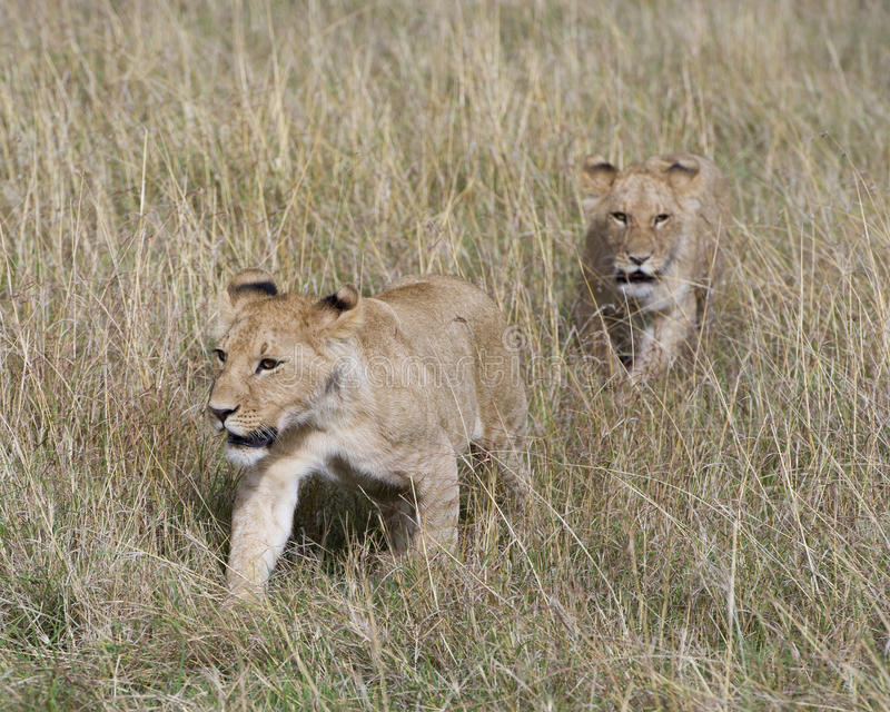 Frontview closeup of two lionesses walking in grass. In the Masai Mara National Reserve, Kenya royalty free stock image
