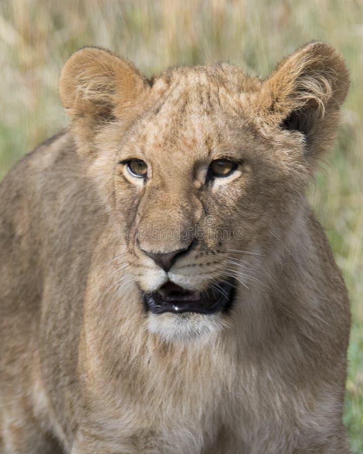 Frontview closeup of young lioness face. The Masai Mara National Reserve, Kenya stock photos