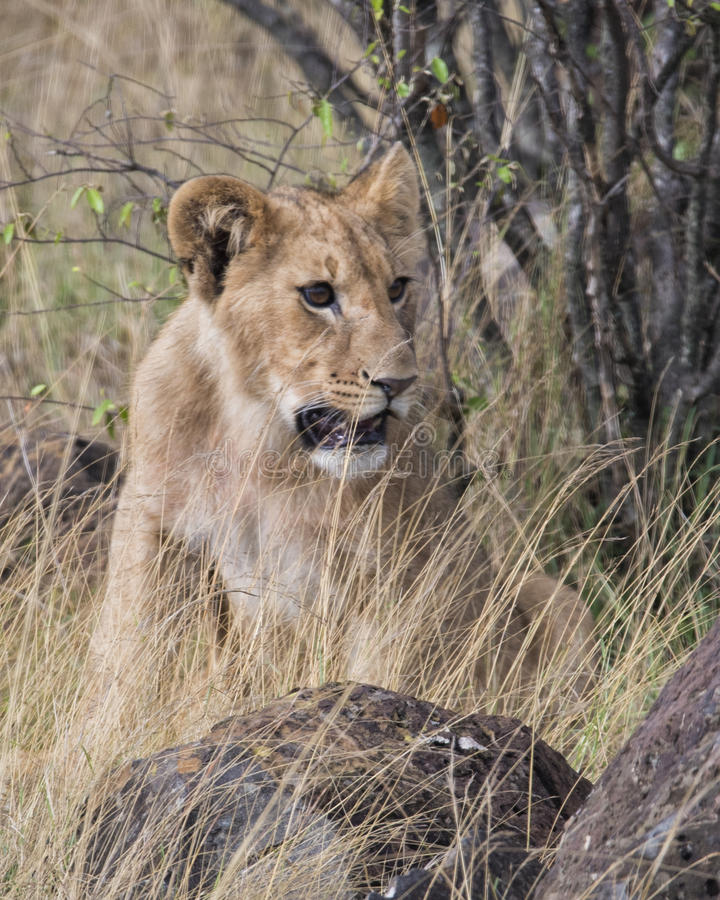 Frontview closeup of young lioness sitting in grass. In the Masai Mara National Reserve, Kenya royalty free stock photo