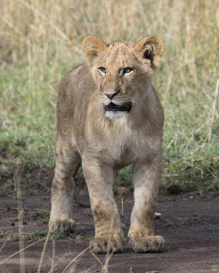 Frontview closeup of young lioness standing on dirt. In the Masai Mara National Reserve, Kenya royalty free stock image
