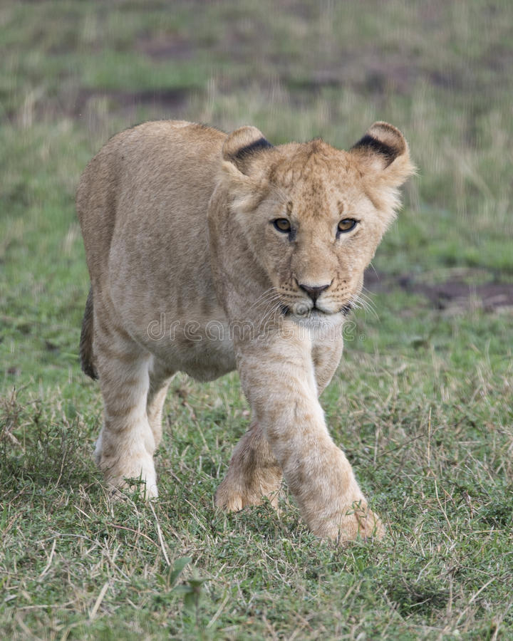 Frontview Closeup of young lioness walking in green grass. In the Masai Mara National Reserve, Kenya stock images