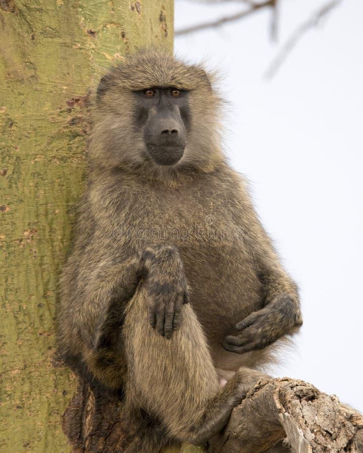 Frontview de um babuíno adulto que senta-se em uma árvore de Acai imagem de stock