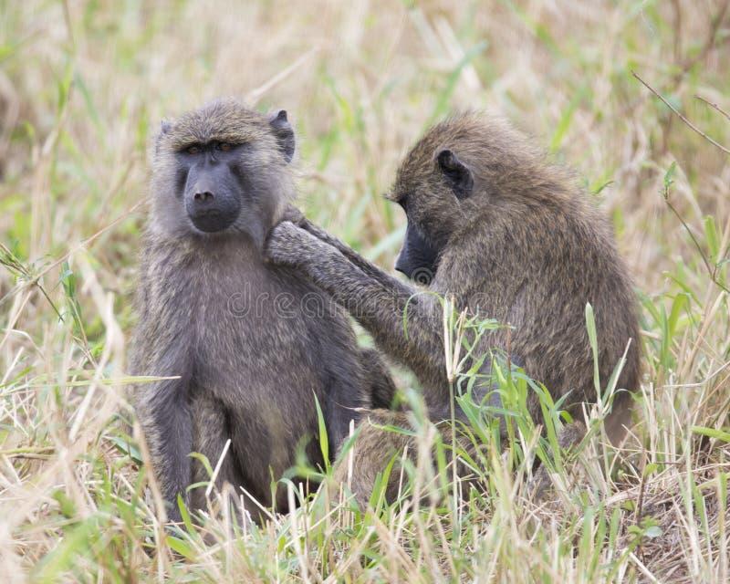 Frontview de um babuíno adulto que senta-se na grama com um sideview de um ò babuíno que prepara sua área esquerda do ombro foto de stock