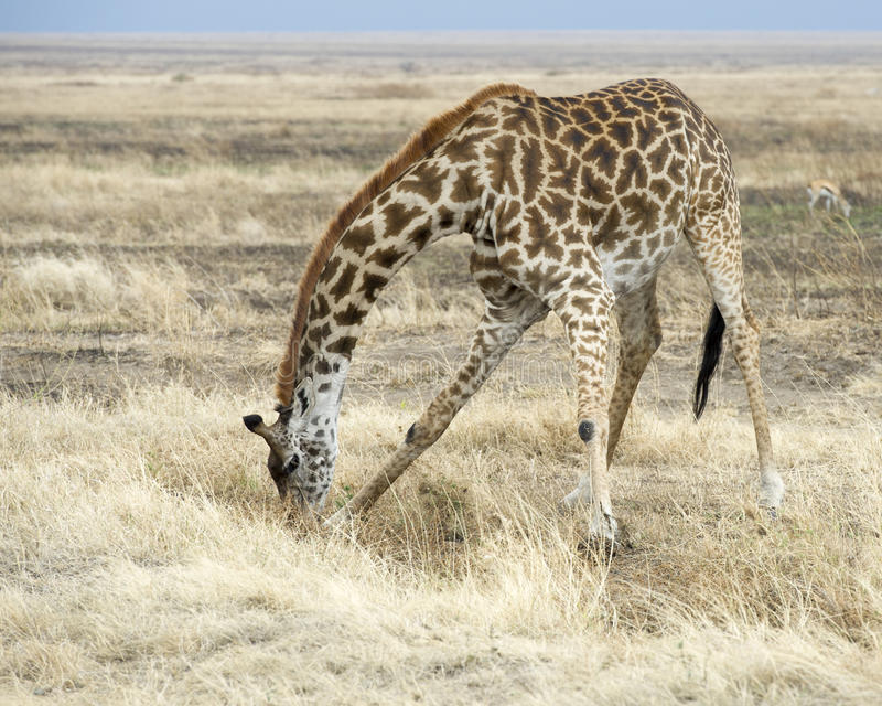 Frontview de uma água potável adulta do girafa do Masai foto de stock