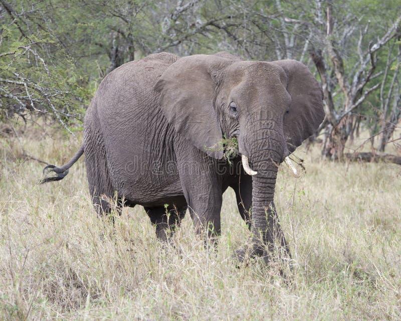 Frontview do elefante adulto com as presas que alimentam na grama foto de stock royalty free