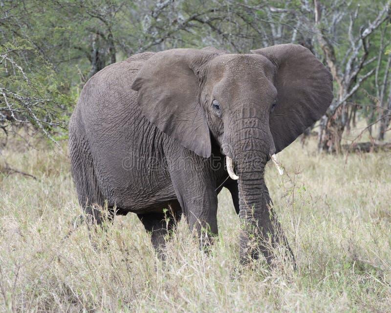 Frontview do elefante adulto com as presas que alimentam na grama foto de stock