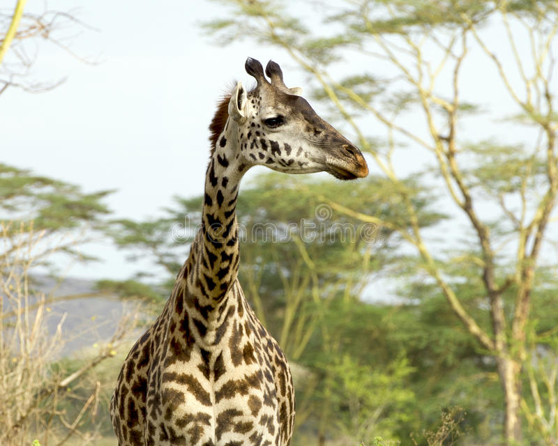 Frontview of a Masai giraffe with trees in background. In the Serengeti National Park, Tanzania stock photography