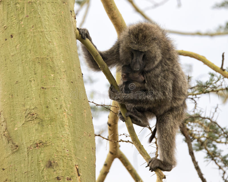 Frontview of a mother baboon nursing her child in an Acai Tree. In the Serengeti National Park, Tanzania royalty free stock photos