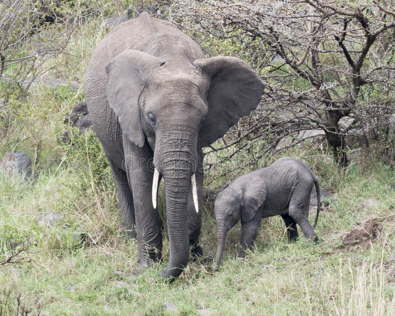 Frontview of mother and baby elephant standing together eating grass. In the Masai Mara National Reserve, Kenya stock image