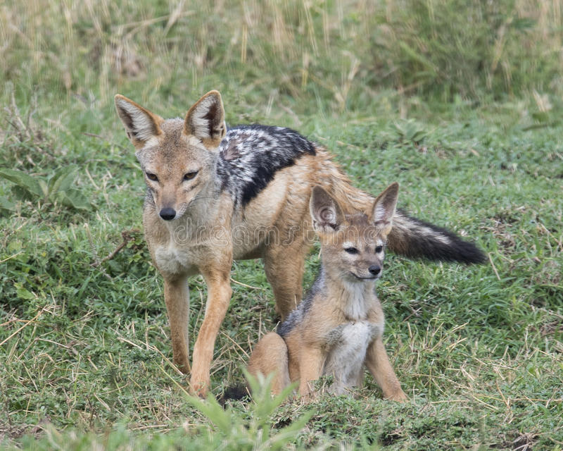Frontview mother black-backed jackal standing with cub sitting at her side in green grass. Closeup frontview of mother black-backed jackal standing with one stock image