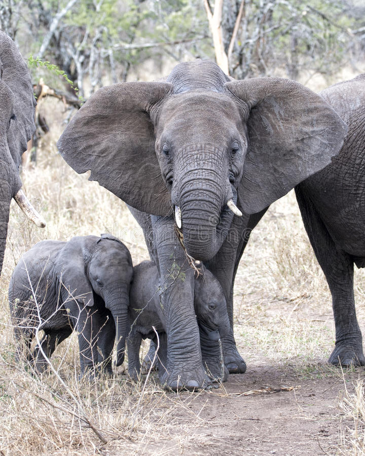Frontview of a mother elephant with two baby elephants. In the Serengeti National Park, Tanzania stock image
